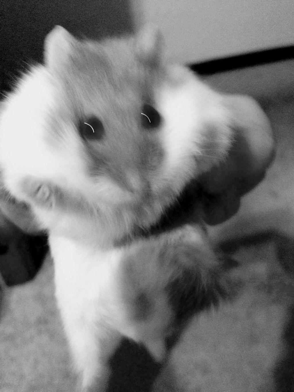 I'm sorry it's sorta blurry bUT MY HAMSTER HAS LIL CHUB