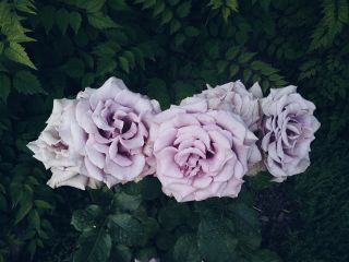 roses purple freetoedit
