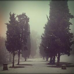 mist snow poplar trees