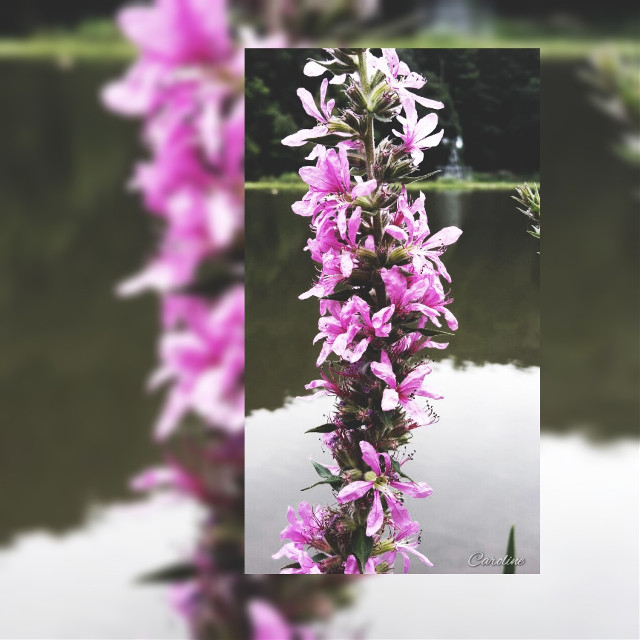 #flower #nature  # purple  #reflections  #photography