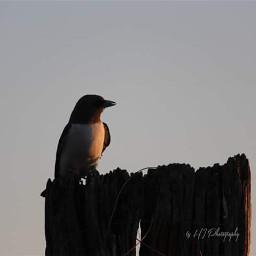 bird swallow nesting nature