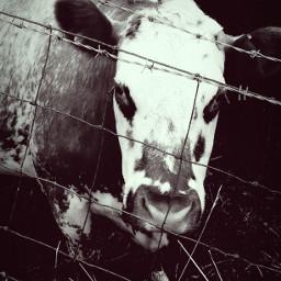 cow animals bw vintage durham