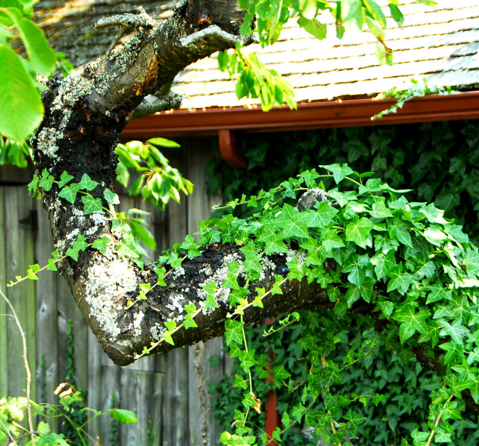 Vines .... #nature  #photography