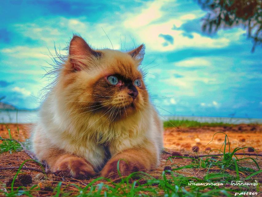 hipster sarsi cat#บ้านแมวหนวด #แมว #cats #chill #holiday #sea #sky #sunset #clouds #neko #beach #amzingthailand #phuket #thailand #trip #travel #island #smile