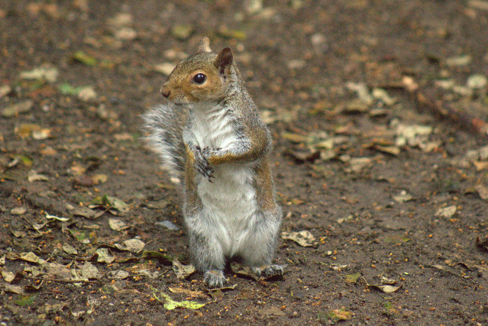 Grey Squirrel going for a walk