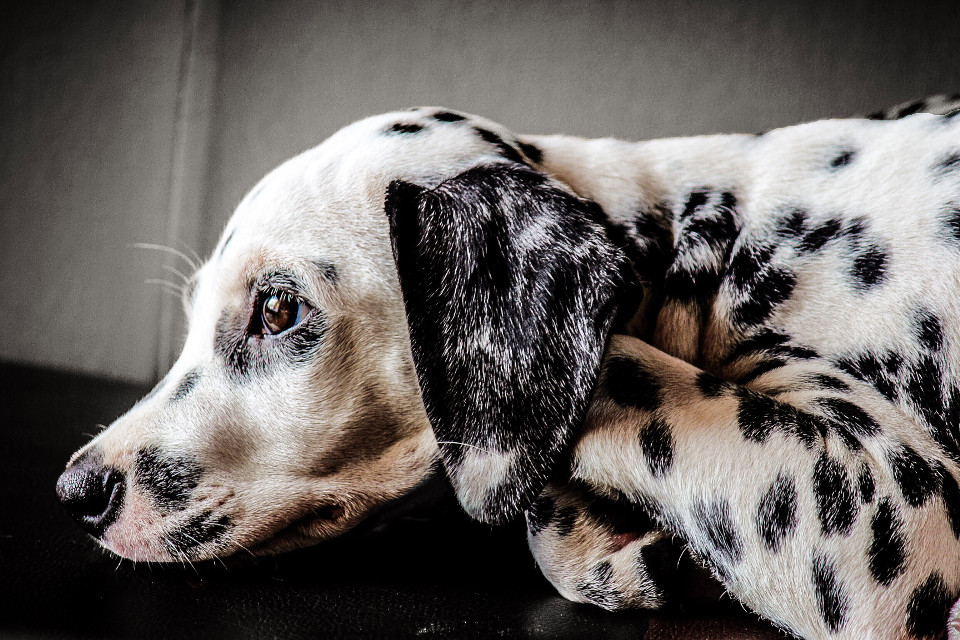 #Protrait  #Dalmatian   #doggy